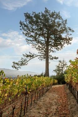 Newton Vineyards Pino Solo