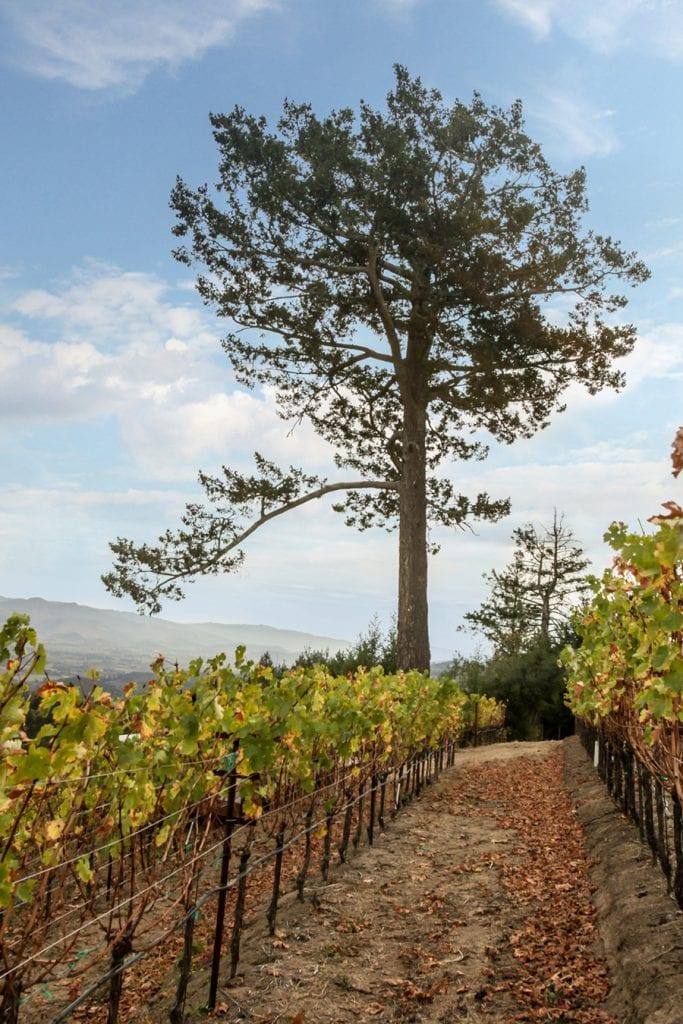 Newton vineyard Pino Solo