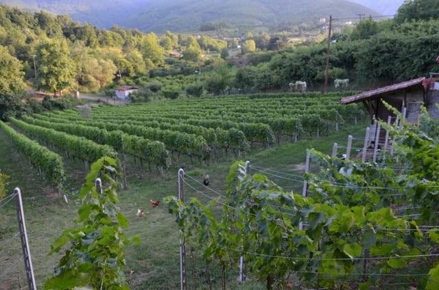 Naoussa Vineyards