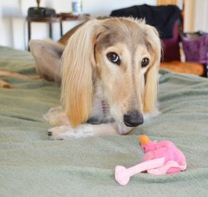 Saluki with Flamengo plush toy - DWA Award Finalist article