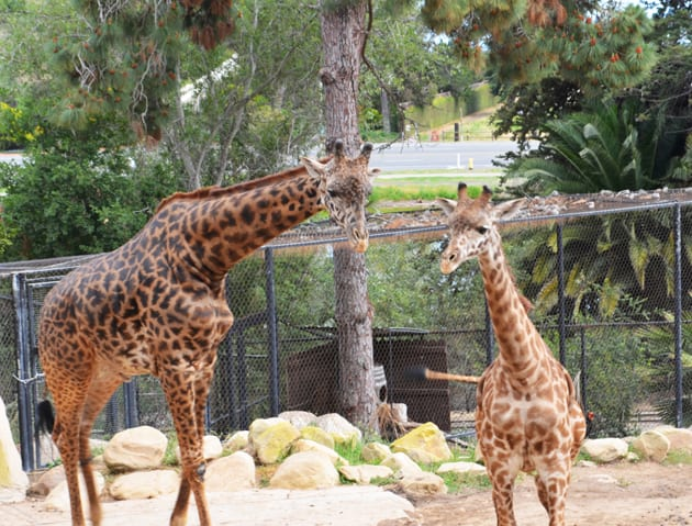 Santa Barbara Zoo Giraffes