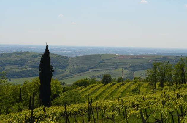 Filippi Vineyards View