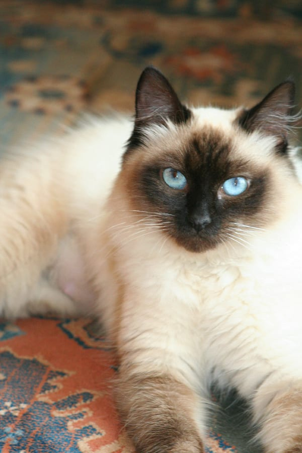 Holly the Ragdoll Cat