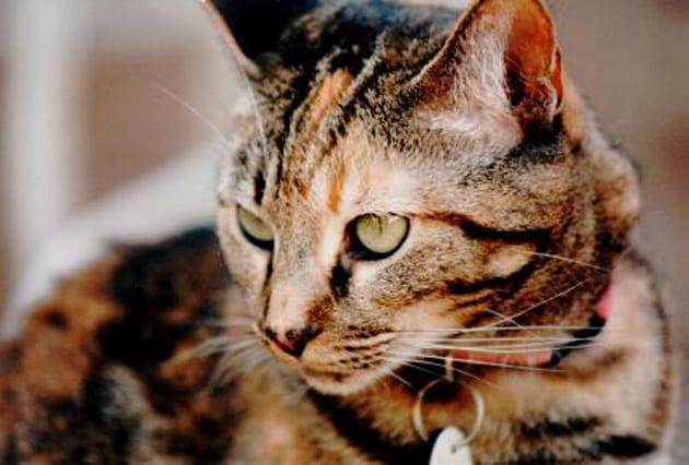 Cappi, Tabby Cat