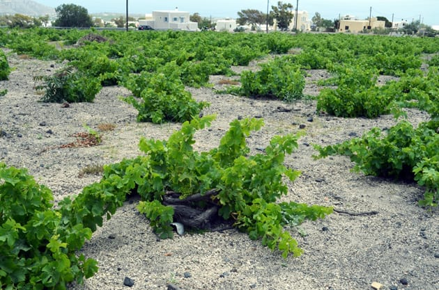 Koulara Basket Trained Grape Vines