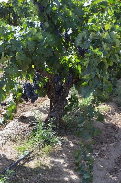 Old Vine Carignan