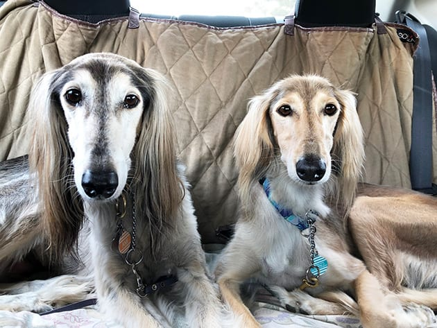 Saluki Friends