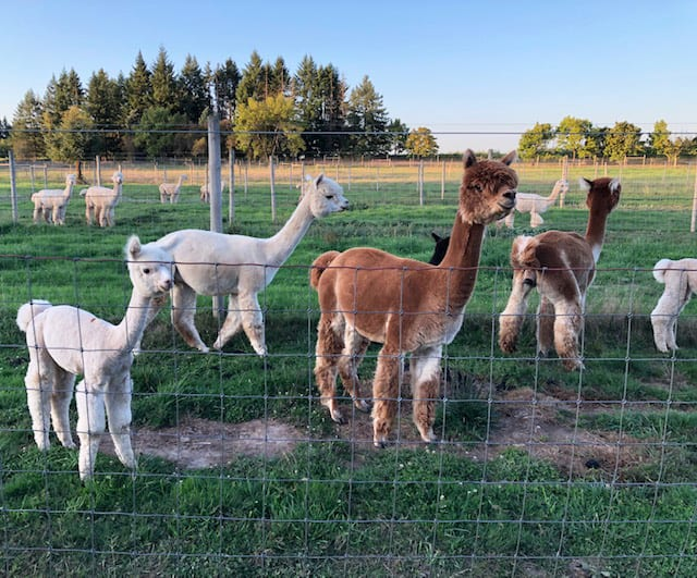 The Alpacas of Marquam Hill Ranch
