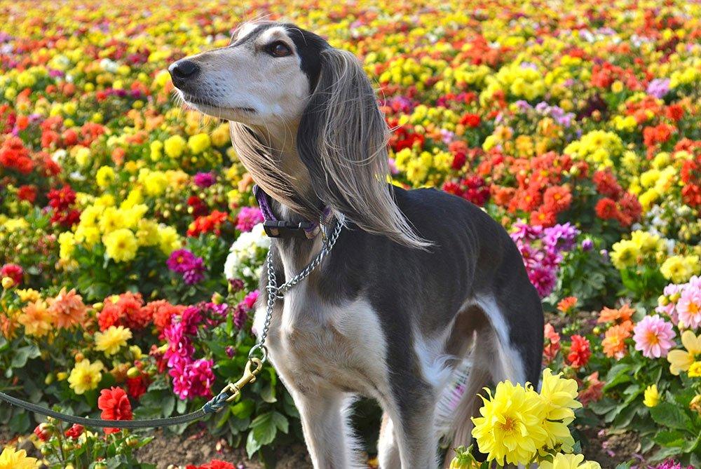 Zoe,-a-Saluki-In-The-Flower-Fields-of-Lompoc